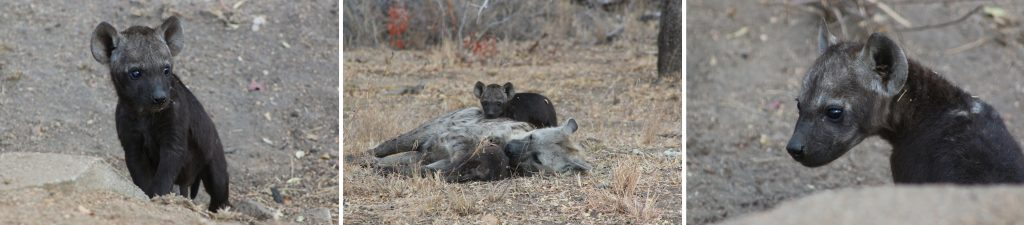 Baby hyena are surprisingly adorable