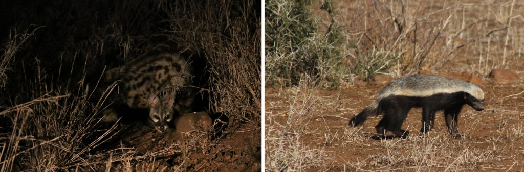 Civet we saw on night drive and a honey badger