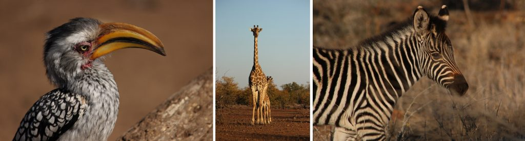 Hornbill, giraffe and zebra, all in Kruger